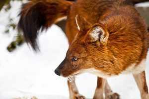 Красный волк: внешний мир, описание жизни