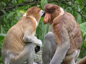 Как размножаются обезьяны носач