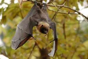 Что едят летучие мыши