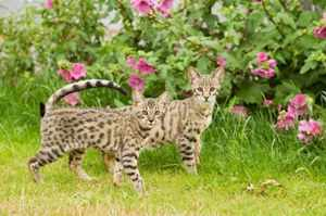 Описание диких кошек