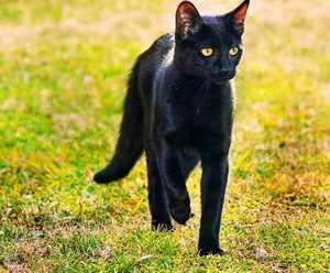Принятый стандарт породы бомбейской кошки