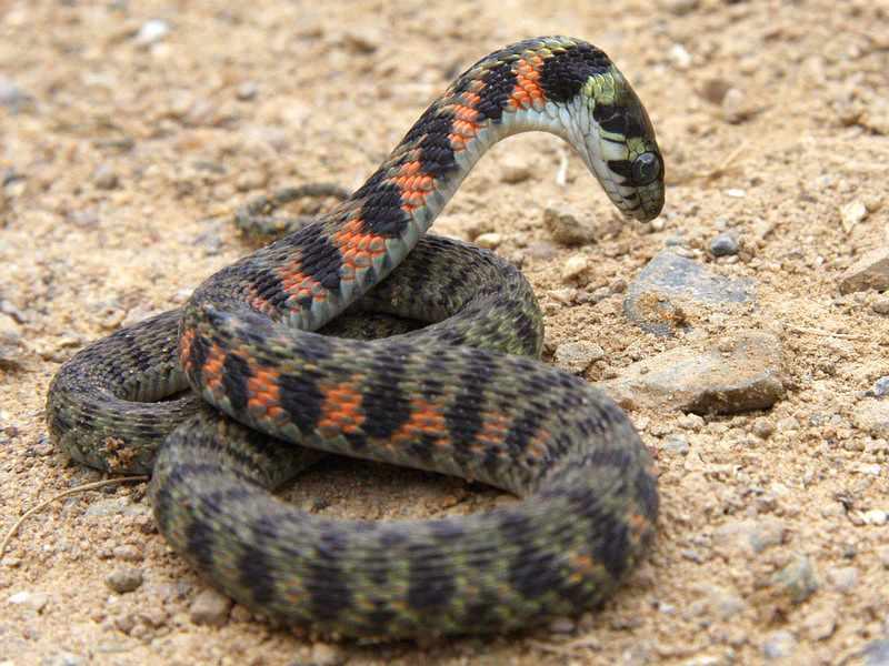 Гадюка опасная ядовитая рептилия