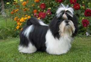 Характеристика породы собак Ши тцу