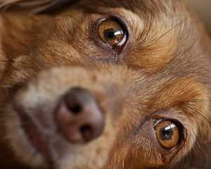 Катаральный конъюнктивит у собак