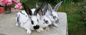Кролик бабочка фото породы