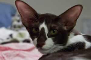 Яванская кошка голова крупным планом