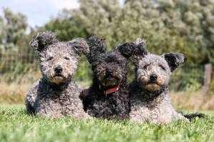 Три кучерявых собачки
