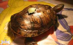 Питание красноухих черепах