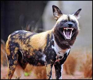 Оскал гиеновидной собаки
