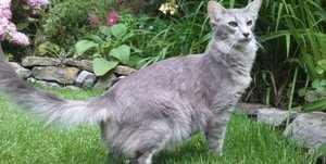 Ориентальная голубая кошка