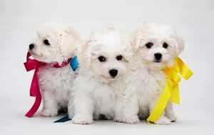 Красивые щенки бишон фризе