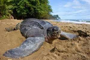 Черепаха на песке океана