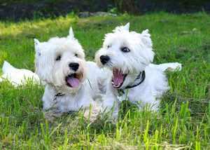 Внешние данные собаки вест хайленд уайт терьер