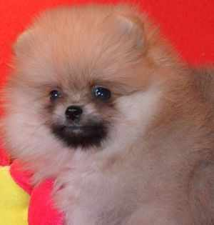 Где купить щенка собаки породы Карликовый померанский шпиц