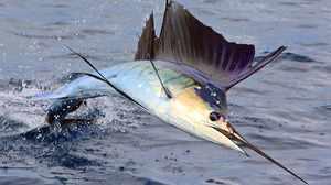 Рыба марлин - быстрый пловец