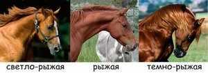 Разнообразие рыжей масти лошадей