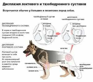 Собаки-дисплазия в тазобедренных суставах