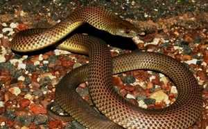 Мулга змея