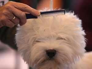 Как расчесывать бишон фризе