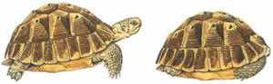Слоновая черепаха - защита животного