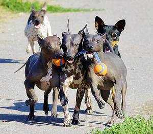 Как выглядит собака американский голый терьер