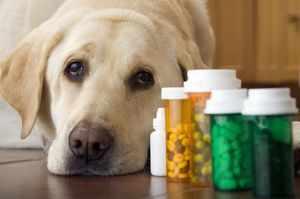 Лечение печени собакам