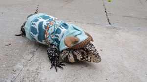 Аргентинские тегу - интересные ящерицы