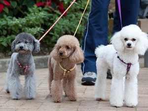 Преимущества собак пуделей