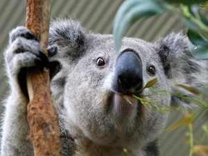 Рацион коал