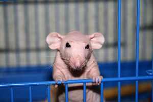 Уход за крысой Сфинк