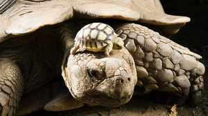 Большая и маленькая слоновые черепахи