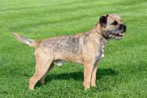 Описание собак породы Бордер Терьер