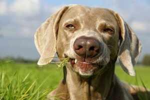 Собака сорвала траву