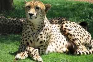 Какую скорость развивает гепард