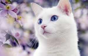 Разнообразие пород белых кошек с голубыми глазами изображение