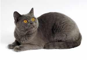 Особенности породистых котят