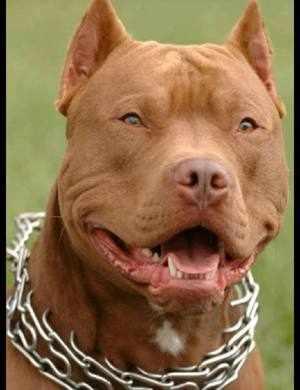 Наиболее опасные породы собак