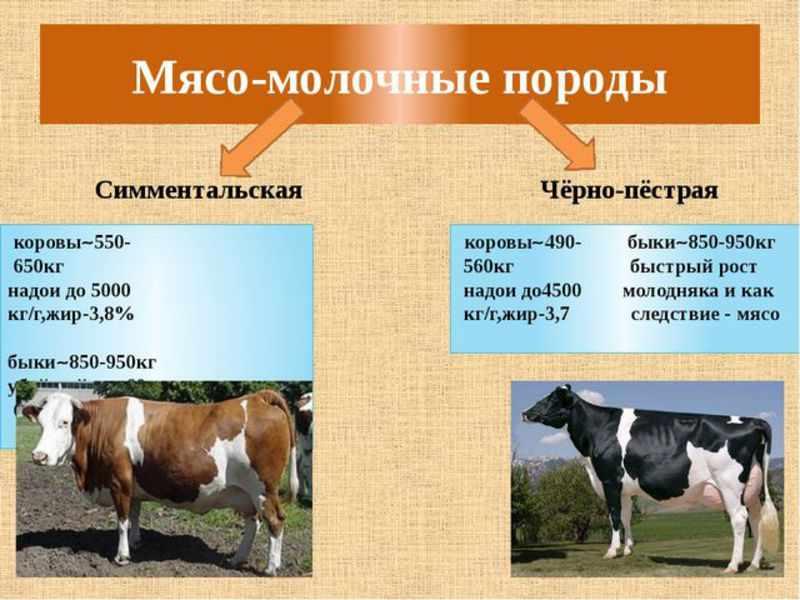 Мясо-молочные породы коров