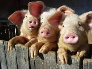 Содержание и разведение свиней