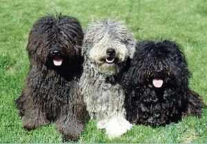 Пушистые собачки с кучерявой шерстью