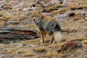 Ареал обитания тибетской лисы