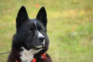 Обучение и социализация карельской медвежьей собаки