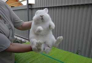 Как узнать половую принадлежность кролика по его поведению и внешности