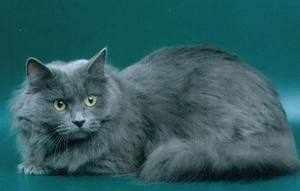 Сибирский кот голубого окраса