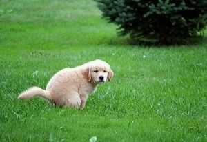 Советы по приучению собаки к туалету