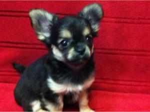 Сколько стоит чихуахуа щенок в рублях