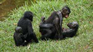 Особенности породы обезьян