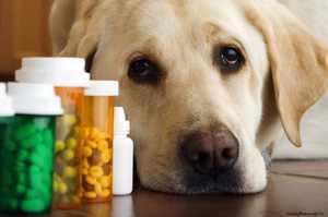 Принципы лечения собачьего стригущего лишая