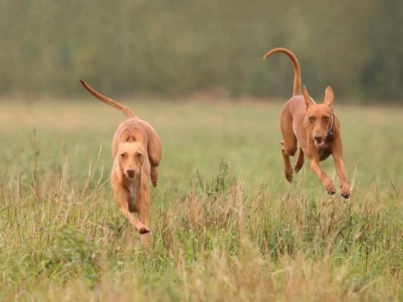 Рост собаки чирнеко дель этна