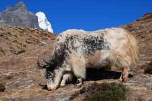 Дикий тибетский як описание животного